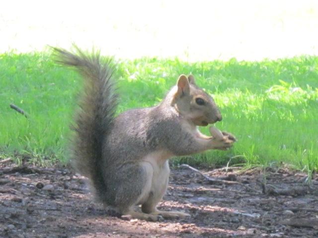 Squirrel and Peanut